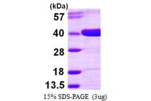 Image no. 1 for Aldo-Keto Reductase Family 1, Member D1 (AKR1D1) (AA 1-326) protein (His tag) (ABIN667380)