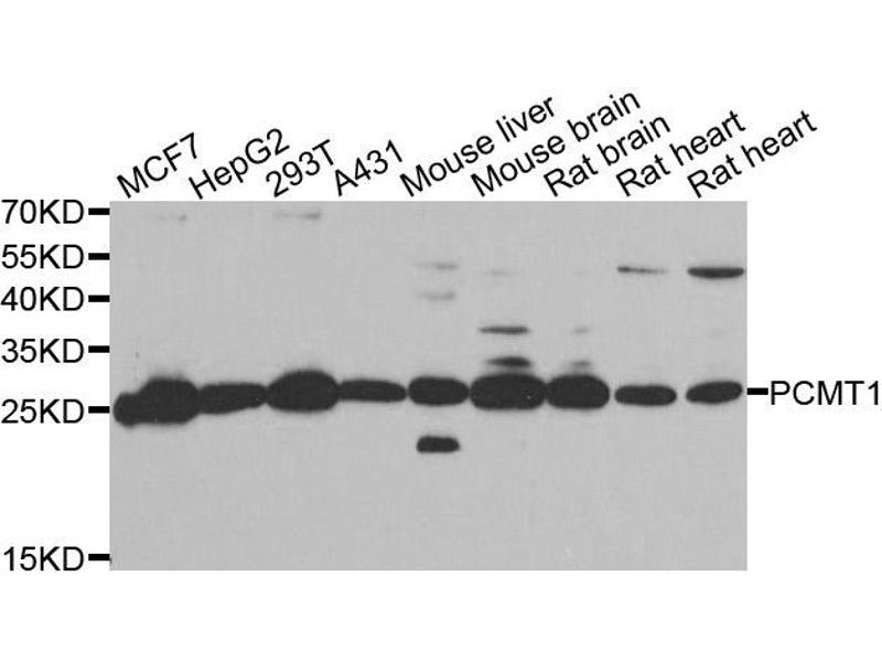 Western Blotting (WB) image for anti-Protein-L-Isoaspartate (D-Aspartate) O-Methyltransferase (PCMT1) antibody (ABIN2564413)
