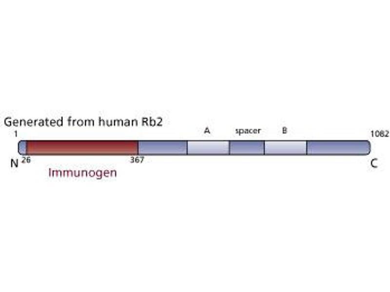 image for anti-p130 antibody (Retinoblastoma-Like 2 (p130)) (AA 26-367) (ABIN967864)