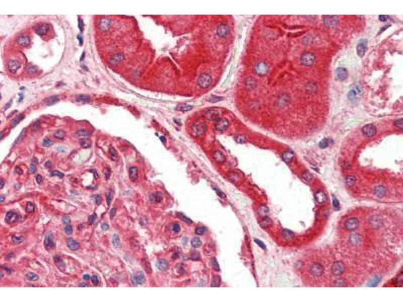 Image no. 1 for anti-Fas (TNFRSF6)-Associated Via Death Domain (FADD) antibody (ABIN461963)