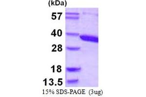 Image no. 1 for Aminoacylase 3 (ACY3) (AA 1-319) protein (His tag) (ABIN667936)