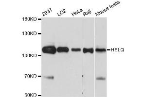 Image no. 1 for anti-DNA Helicase HEL308 (HEL308) antibody (ABIN6567609)