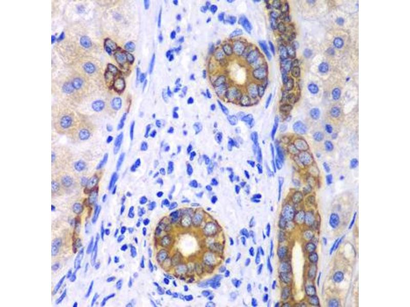 Image no. 1 for anti-Keratin 19 (KRT19) antibody (ABIN6566531)