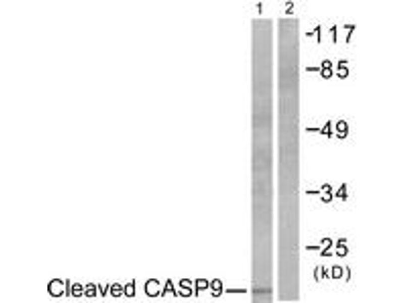 Western Blotting (WB) image for anti-Caspase 9, Apoptosis-Related Cysteine Peptidase (CASP9) (Cleaved-Asp353) antibody (ABIN1536086)