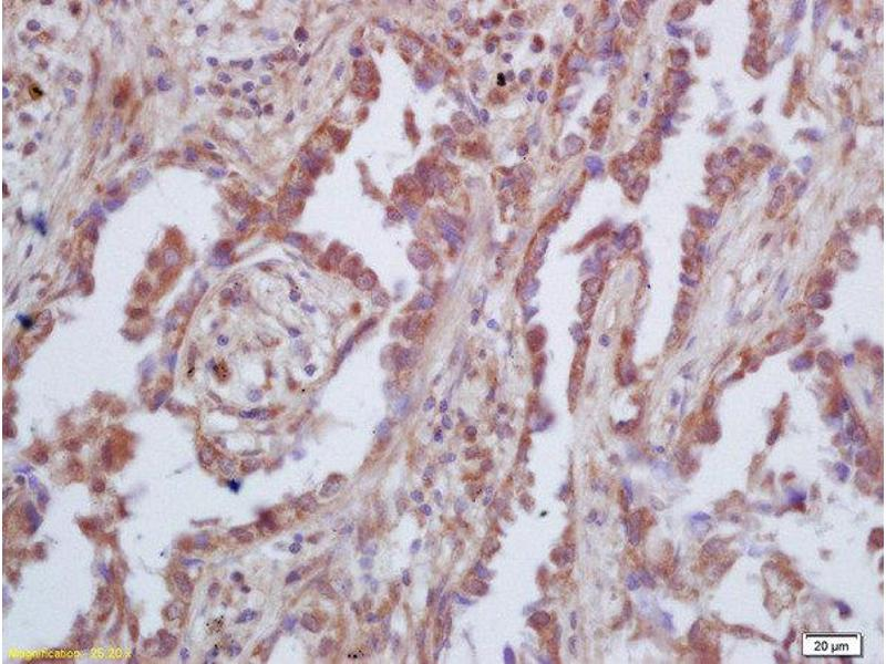 Immunohistochemistry (Paraffin-embedded Sections) (IHC (p)) image for anti-GAS6 antibody (Growth Arrest-Specific 6) (AA 560-610) (ABIN873146)