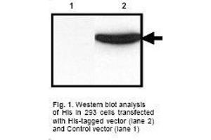Western Blotting (WB) image for anti-His Tag antibody (ABIN223327)