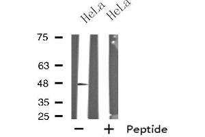 Image no. 1 for anti-G Protein-Coupled Receptor 19 (GPR19) antibody (ABIN6258222)