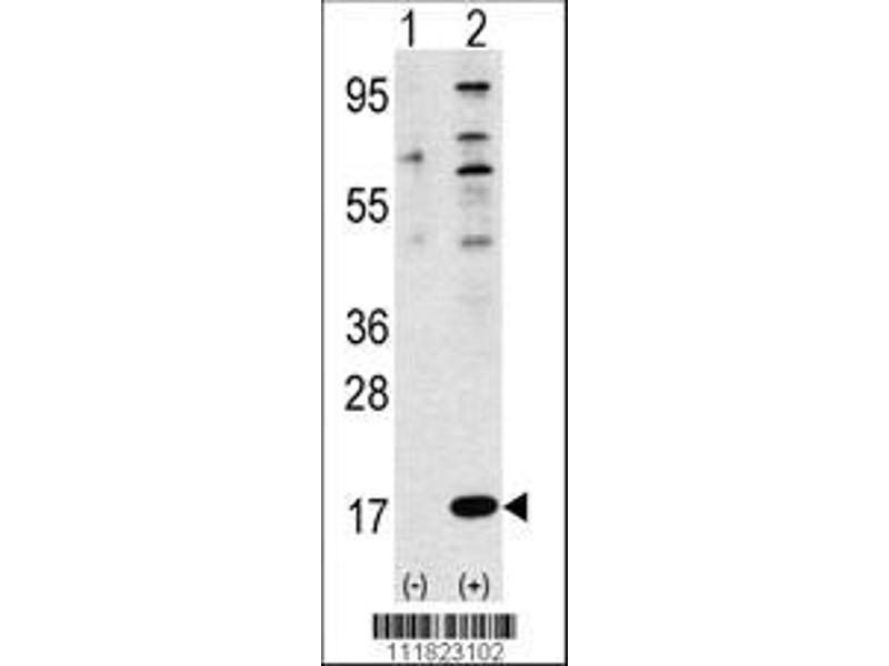 Western Blotting (WB) image for anti-FAU antibody (Finkel-Biskis-Reilly Murine Sarcoma Virus (FBR-MuSV) Ubiquitously Expressed) (AA 1-30) (ABIN388405)