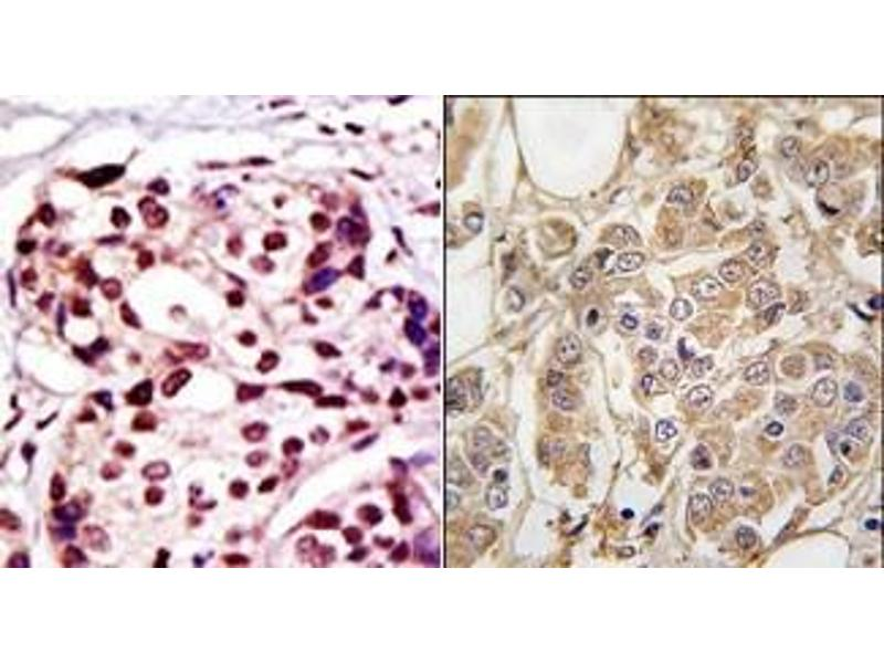 image for anti-X-Linked Inhibitor of Apoptosis (XIAP) (N-Term) antibody (ABIN358604)