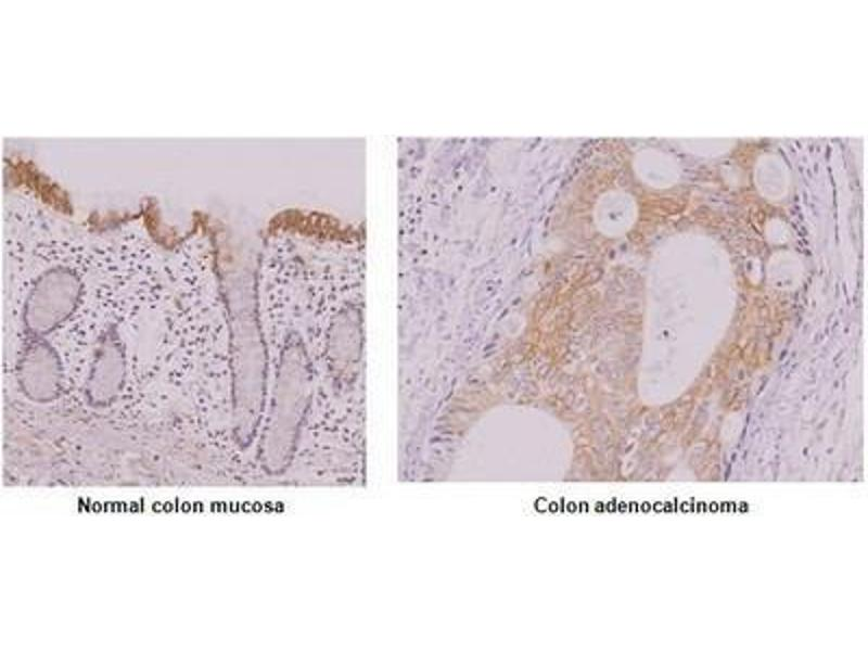 Immunohistochemistry (Paraffin-embedded Sections) (IHC (p)) image for anti-Interferon Regulatory Factor 5 (IRF5) (AA 176-240) antibody (ABIN316092)
