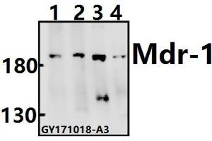 Image no. 1 for anti-ATP-Binding Cassette, Sub-Family B (MDR/TAP), Member 1 (ABCB1) (AA 551-600) antibody (ABIN6713270)