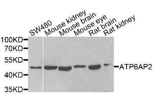 Western Blotting (WB) image for anti-ATPase, H+ Transporting, Lysosomal Accessory Protein 2 (ATP6AP2) antibody (ABIN5964557)