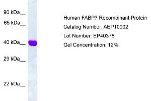 Image no. 1 for Fatty Acid Binding Protein 7, Brain (FABP7) protein (ABIN987260)