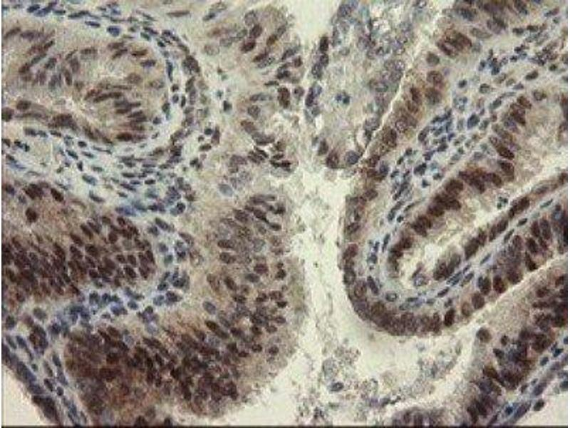 Immunohistochemistry (IHC) image for anti-RBPMS 抗体 (RNA Binding Protein with Multiple Splicing) (ABIN4349703)