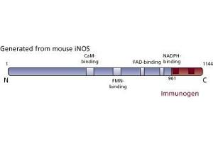 image for anti-NOS2 antibody (Nitric Oxide Synthase 2, Inducible) (ABIN967908)