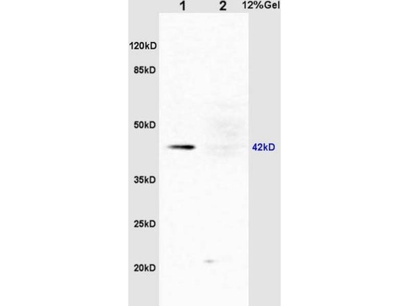 SDS-PAGE (SDS) image for anti-Mitogen-Activated Protein Kinase 1/3 (MAPK1/3) (AA 160-200), (pThr183), (pTyr185) Antikörper (ABIN687727)