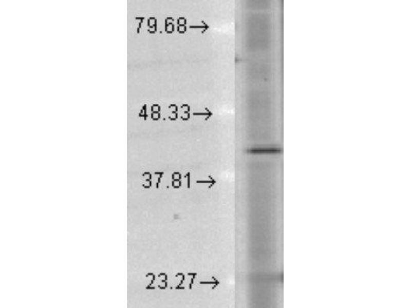 Western Blotting (WB) image for anti-Rhodopsin antibody (RHO) (C-Term) (ABIN4350402)