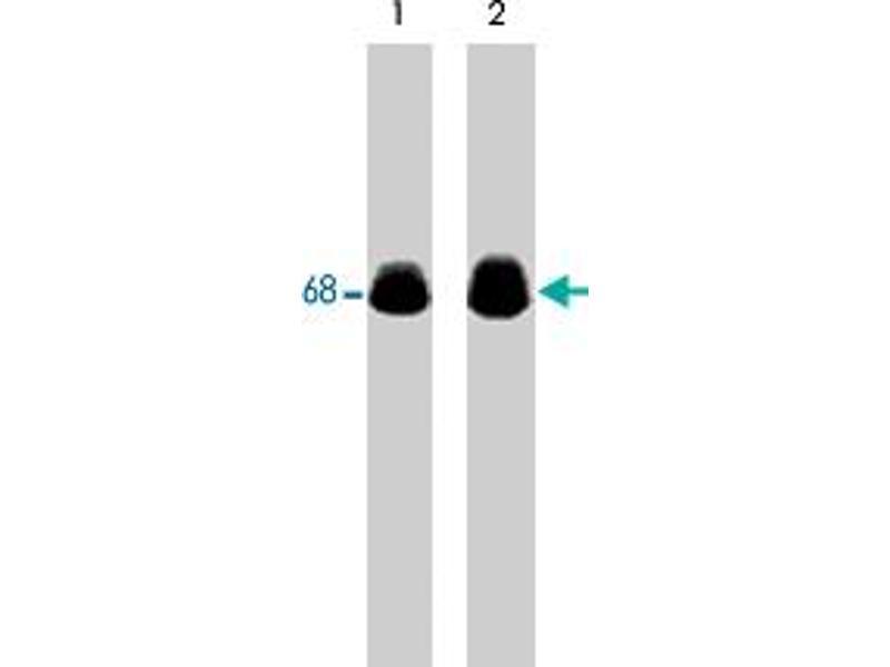 Western Blotting (WB) image for anti-Paxillin (PXN) antibody (ABIN533141)