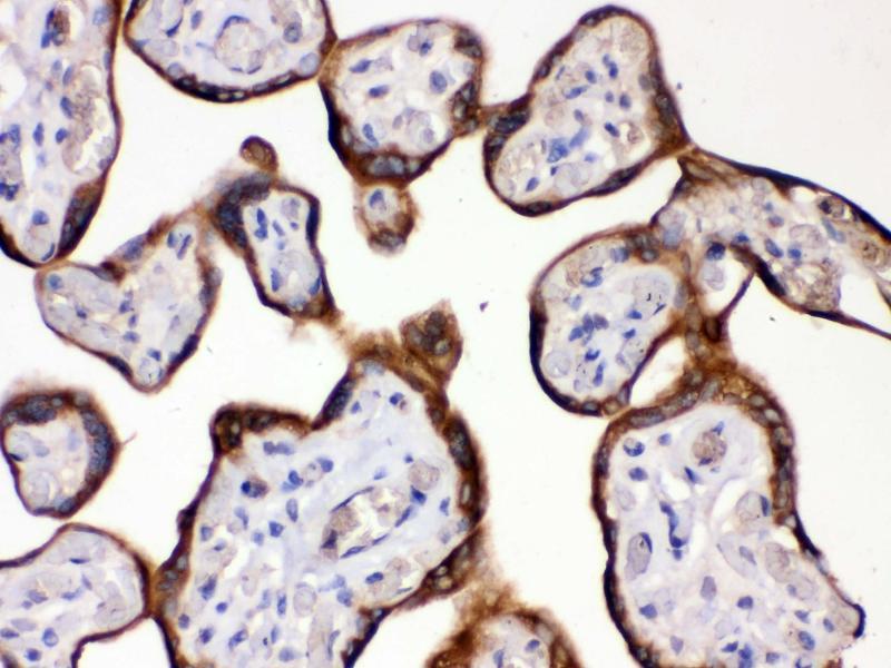 Image no. 2 for anti-Hydroxysteroid (11-Beta) Dehydrogenase 2 (HSD11B2) (AA 277-309), (C-Term) antibody (ABIN3043846)
