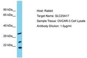 Image no. 1 for anti-Solute Carrier Family 25 (Mitochondrial Carrier, Peroxisomal Membrane Protein, 34kDa), Member 17 (SLC25A17) (AA 63-112) antibody (ABIN6750581)