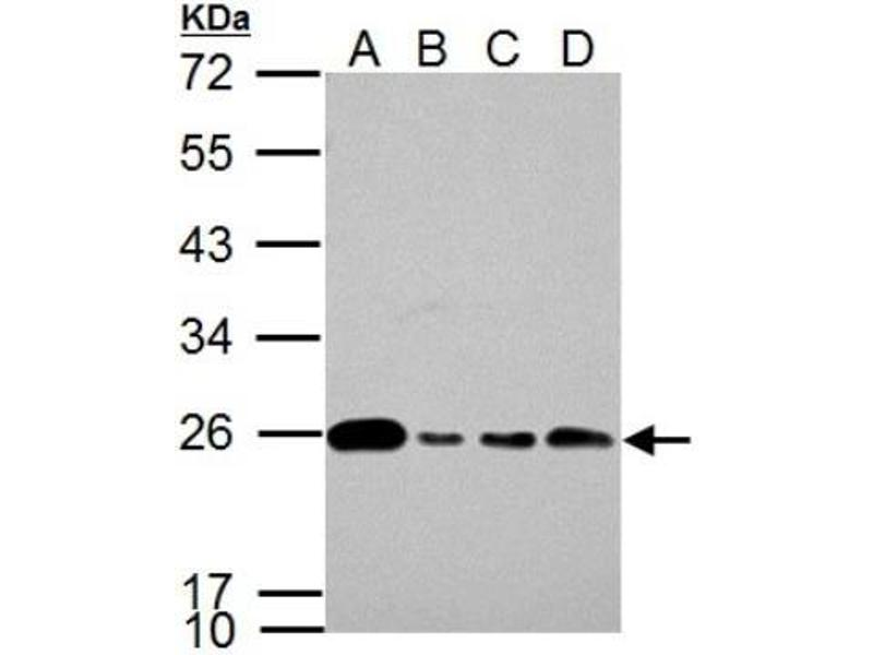 Western Blotting (WB) image for anti-Glyoxalase I (GLO1) (Center) antibody (ABIN441467)