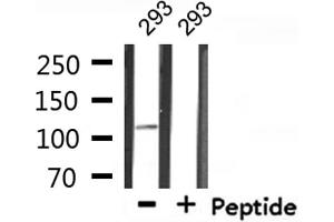 Image no. 2 for anti-Mediator Complex Subunit 24 (MED24) antibody (ABIN6263193)
