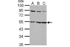 Image no. 1 for anti-Glycine Receptor, alpha 2 (GLRa2) (Center) antibody (ABIN2856145)