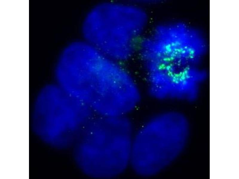 Immunofluorescence (IF) image for anti-BUB1B antibody (Budding Uninhibited By Benzimidazoles 1 Homolog beta (Yeast)) (N-Term) (ABIN151818)