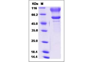 Image no. 1 for Sialophorin (SPN) (AA 1-243) protein (Fc Tag) (ABIN2009615)