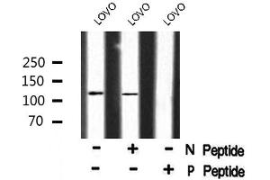 Image no. 1 for anti-Microtubule-Associated Protein 4 (MAP4) (pSer696) antibody (ABIN6271316)