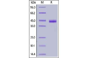 Image no. 2 for Poliovirus Receptor-Related 4 (PVRL4) (AA 32-349) (Active) protein (His tag,AVI tag,Biotin) (ABIN6938938)