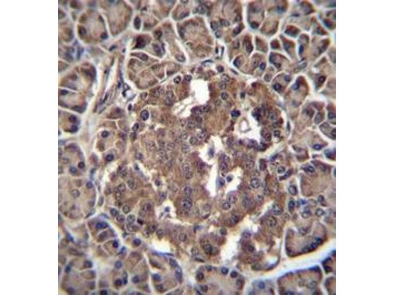 Immunohistochemistry (Paraffin-embedded Sections) (IHC (p)) image for anti-RBPJL antibody (Recombination Signal Binding Protein For Immunoglobulin kappa J Region-Like) (AA 15-44) (ABIN954488)