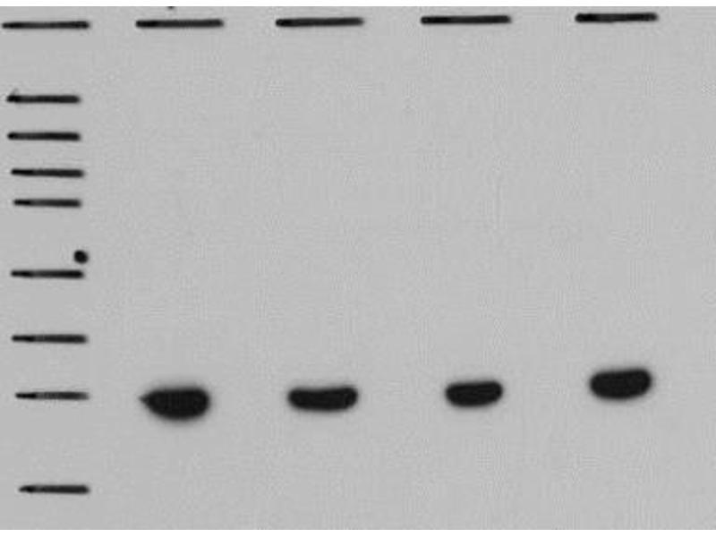 Image no. 13 for anti-Actin, beta (ACTB) (N-Term) antibody (ABIN153386)