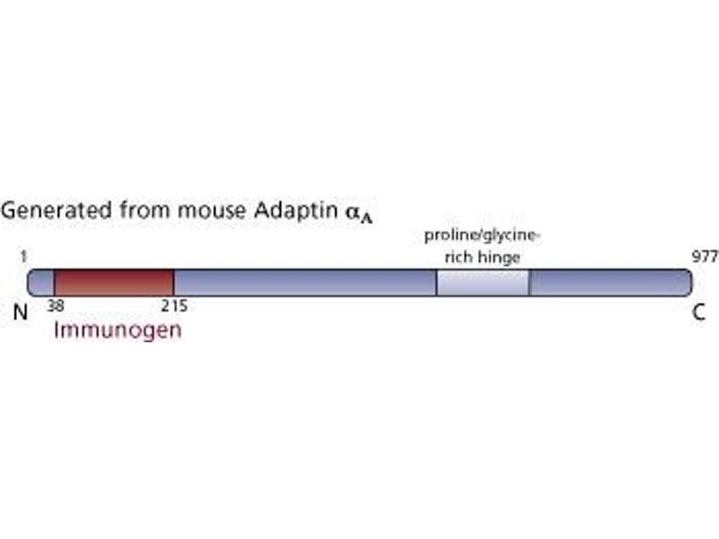 image for anti-Adaptin, alpha (AA 38-215) antibody (ABIN968009)