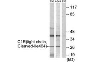 Western Blotting (WB) image for anti-Complement Component 1, R Subcomponent (C1R) (Cleaved-Ile464), (AA 445-494) antibody (ABIN1536124)