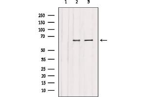 Image no. 3 for anti-Chromatin Assembly Factor 1, Subunit A (p150) (CHAF1A) antibody (ABIN6257707)
