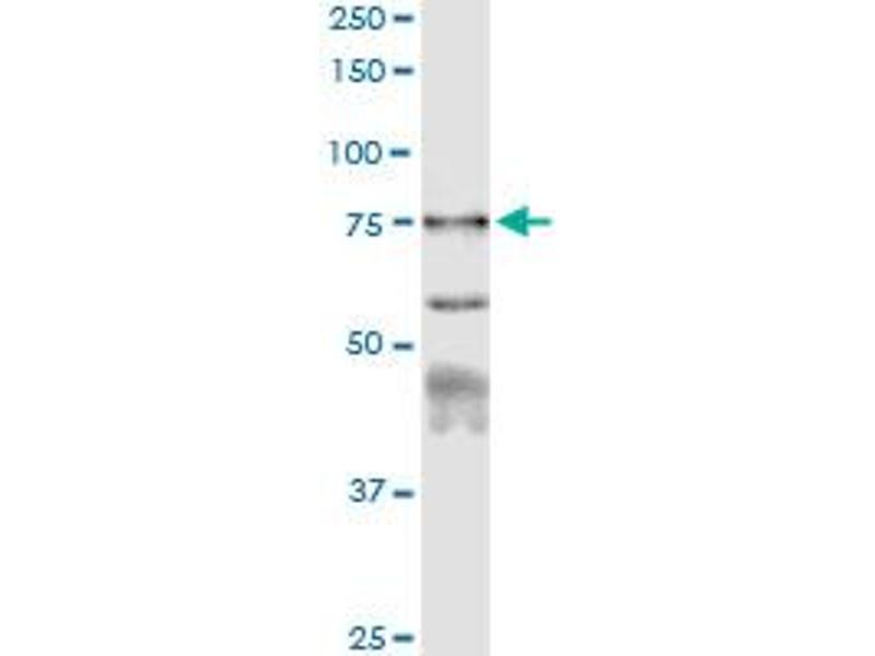 Immunoprecipitation (IP) image for anti-Calpain 1, Large Subunit (CAPNL1) (AA 1-714), (full length) antibody (ABIN947641)