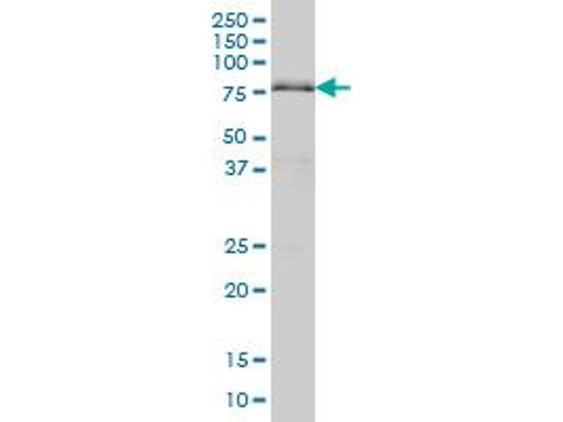Western Blotting (WB) image for anti-AT Rich Interactive Domain 3A (BRIGHT-Like) (ARID3A) (AA 317-416) antibody (ABIN560650)