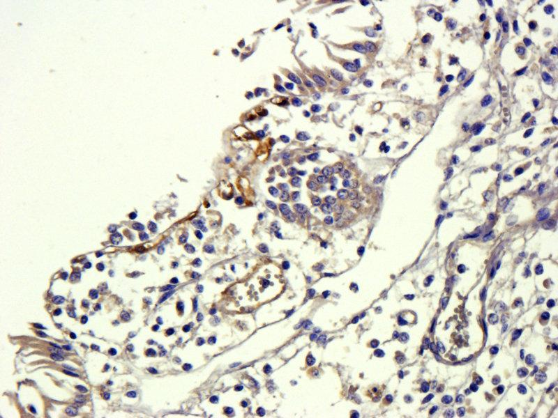 Immunohistochemistry (Paraffin-embedded Sections) (IHC (p)) image for anti-Transforming Growth Factor, beta 1 (TGFB1) (N-Term) antibody (ABIN2506704)