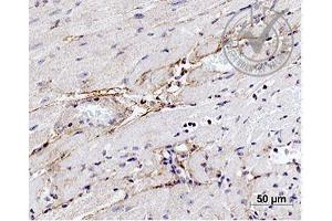 Immunohistochemistry (IHC) image for anti-Elastin (ELN) (AA 750-786) anticorps (ABIN734003)