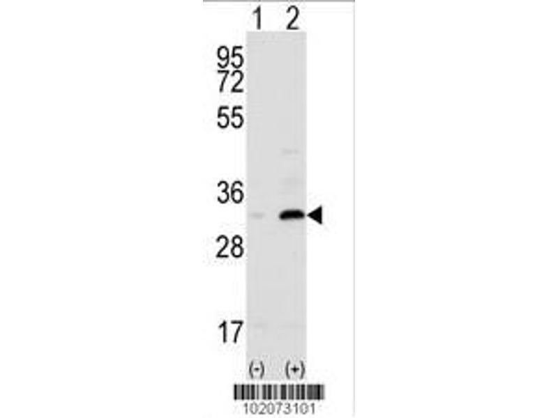Western Blotting (WB) image for anti-CD82 Molecule (CD82) (AA 239-267), (C-Term) antibody (ABIN390184)
