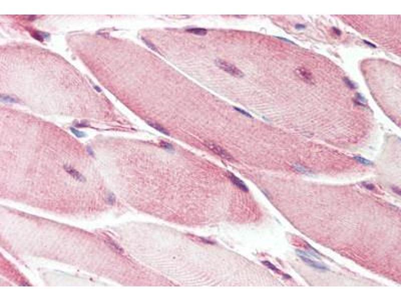 Image no. 1 for anti-Notch 2 (NOTCH2) (AA 2457-2471) antibody (ABIN462087)