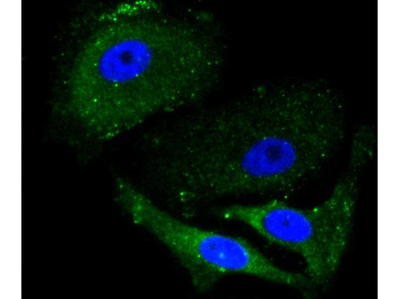 Immunofluorescence (IF) image for anti-Aminolevulinate, delta-, Synthase 1 (ALAS1) antibody (ABIN5996898)