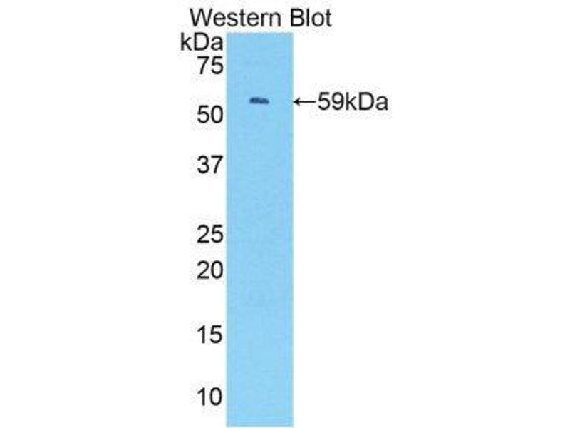 Western Blotting (WB) image for anti-Interferon Regulatory Factor 1 (IRF1) (AA 44-319) antibody (ABIN1859472)