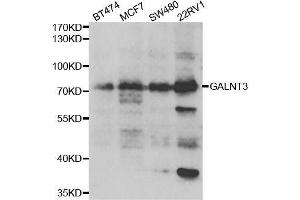 Image no. 1 for anti-UDP-N-Acetyl-alpha-D-Galactosamine:polypeptide N-Acetylgalactosaminyltransferase 3 (GalNAc-T3) (GALNT3) antibody (ABIN6140943)