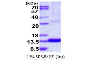 Image no. 1 for ADP-Ribosylation Factor-Like 9 (ARL9) (AA 1-123) protein (His tag) (ABIN667994)