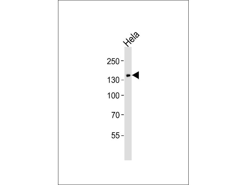 Western Blotting (WB) image for anti-Phospholipase C gamma 1 antibody (phospholipase C, gamma 1) (ABIN2801946)