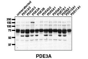 Image no. 1 for anti-phosphodiesterase 3A, cGMP-Inhibited (PDE3A) (C-Term) antibody (ABIN197602)