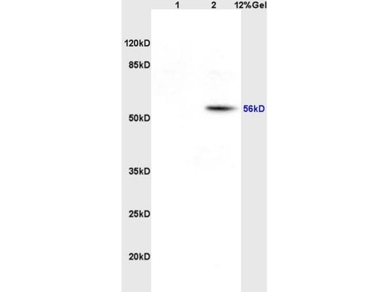 SDS-PAGE (SDS) image for anti-Solute Carrier Family 1 (Glial High Affinity Glutamate Transporter), Member 3 (SLC1A3) (AA 335-385) antibody (ABIN730783)