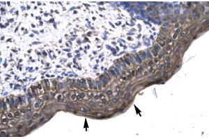 Image no. 2 for anti-KIN, Antigenic Determinant of RecA Protein Homolog (Mouse) (KIN) (Middle Region) antibody (ABIN2777414)